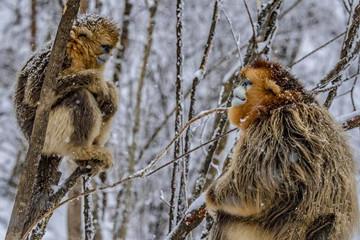 神农架金丝猴雪趣