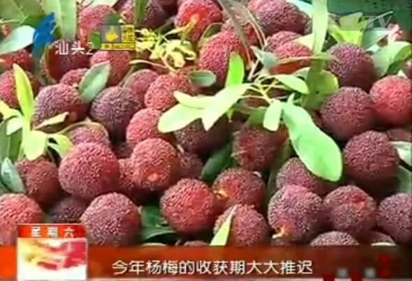 金灶杨梅渐上市 修补山路助销售 2017-5-27
