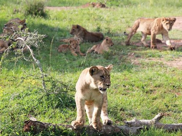 狮子和犀牛重现卢旺达阿卡盖拉国家公园