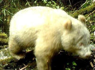 四川卧龙国家级自然保护区拍摄到白色大熊猫