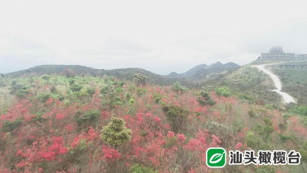 春天,到潮州鳳凰烏崠看杜鵑花去!順便吃上一頓杜鵑花菜……