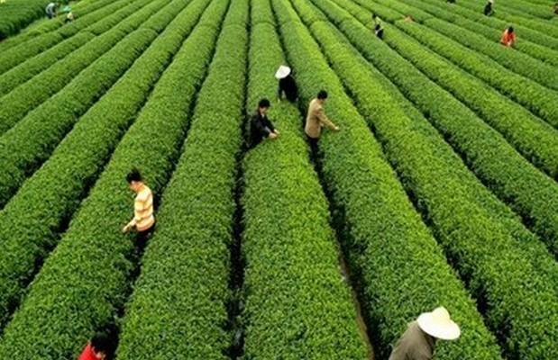 从手工炒制到机械加工:非遗传承人眼中的红茶之变