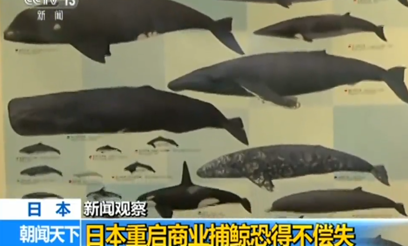 時隔32年日本重啟商業捕鯨 料將引發各方批評