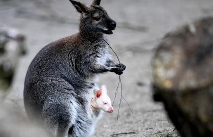 不幸误食毒草 澳大利亚数百只袋鼠被实施安乐死