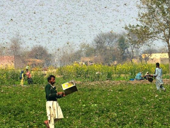 巴基斯坦东部蝗灾肆虐