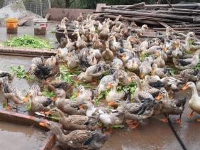 中国蝗灾防治工作组:目前以鸭子捕食蝗虫的方法在巴基斯坦并不适合