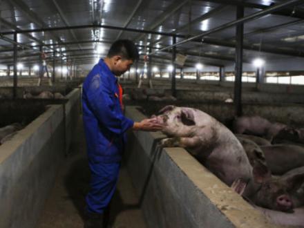 """猪肉价格连续13周下降,今年会重回""""10元时代""""吗?"""